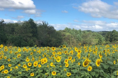 Olivette-Sunflowers